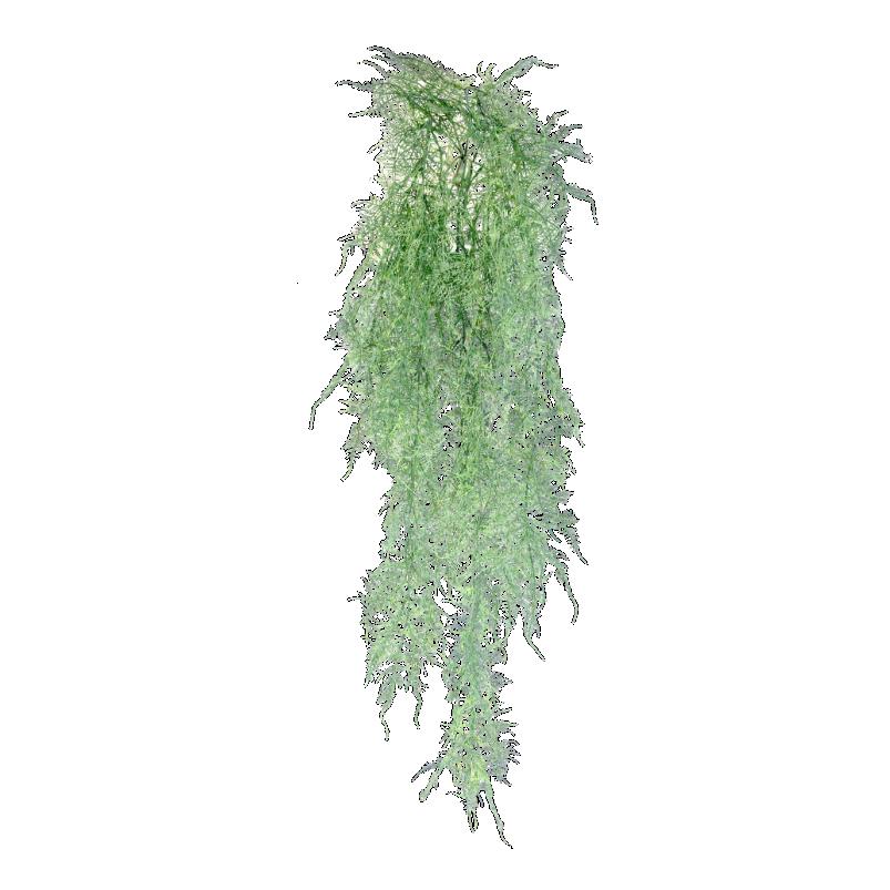 Hanging Asparagus Grey Fern 112cm