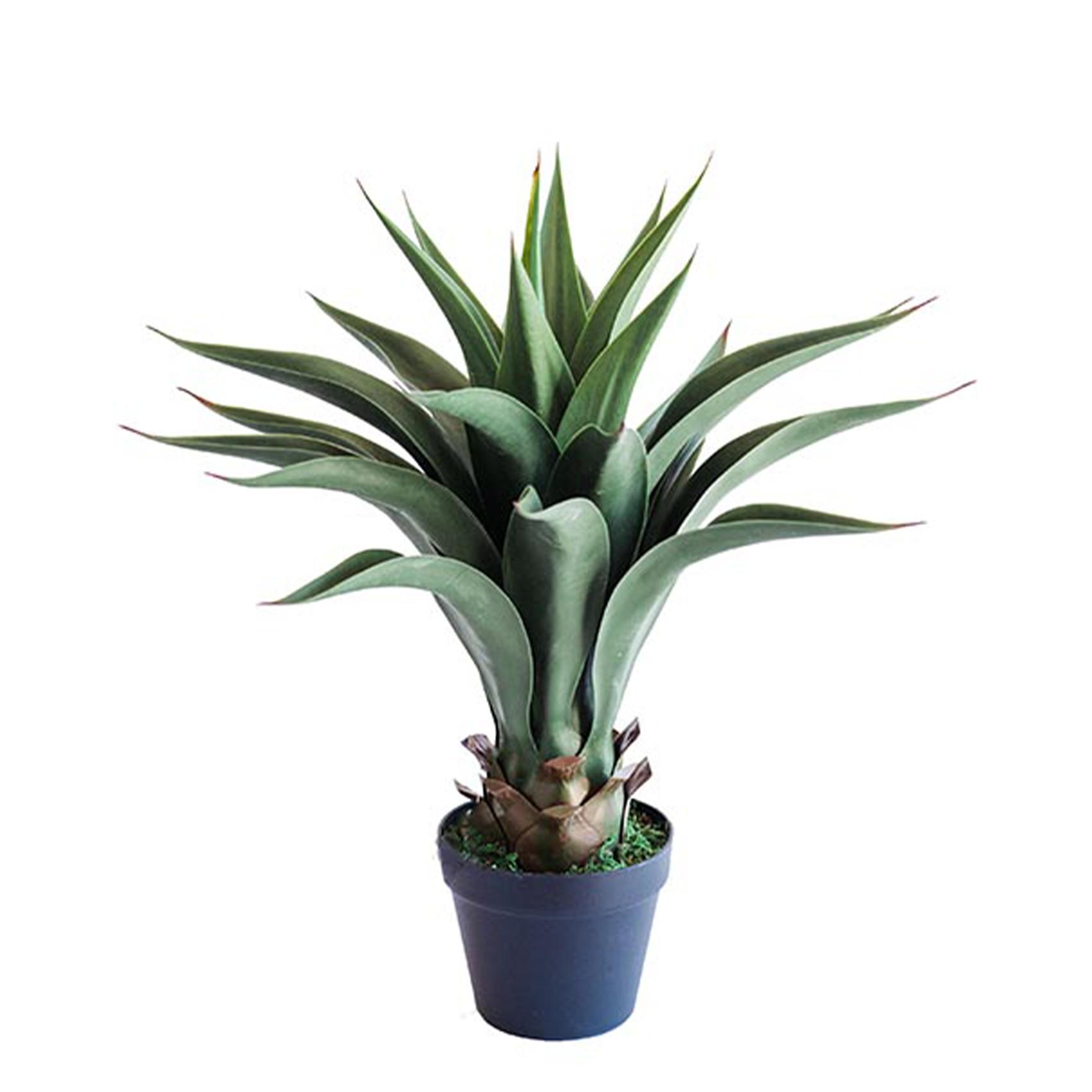 agave 55